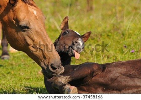 Akhal-teke mare and foal