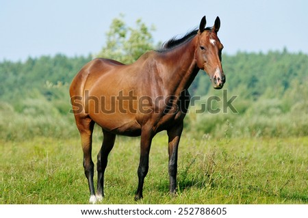 akhal-teke mare in pasture - stock photo