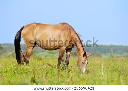 akhal-teke mare in pasture - stock photo