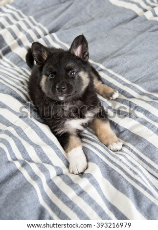 Akita and Shepherd Mix Black Fluffy Puppy Playing on Bed with Pink Rubber Toy