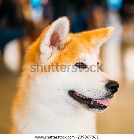 Akita Dog (Akita Inu, Japanese Akita) close up portrait on brown background - stock photo