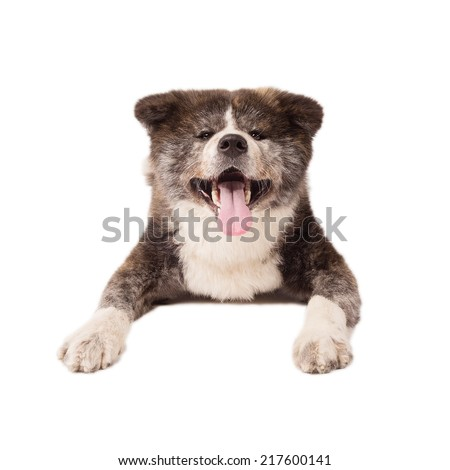 Akita Inu Dog, isolated on a white background - stock photo