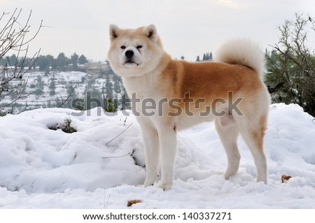 Akita Inu dog stand in a forest with snow background.   - stock photo