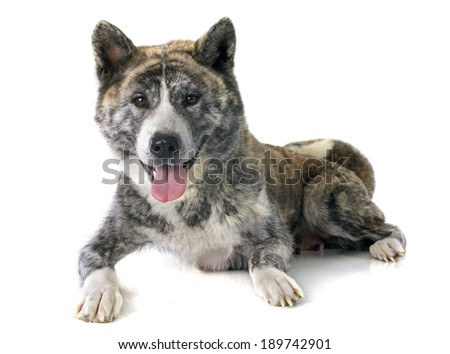 akita inu in front of white background