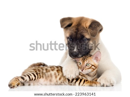 Akita inu puppy dog lying with bengal kitten. isolated on white background - stock photo