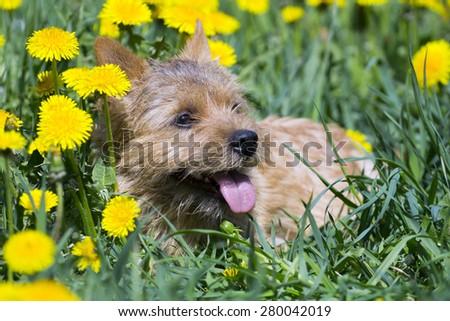 Akita-Inu, young dog portrait outdoors - stock photo