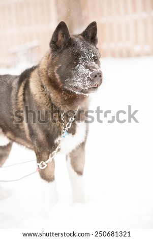 Akita - This is an image of a big Akita on a leash playing in the snow. - stock photo