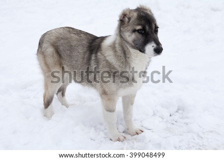 Alabai puppy playing in the snow