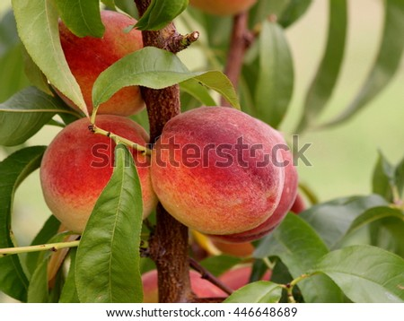 Alabama Grown Peaches, ripe and ready to be picked and enjoyed!