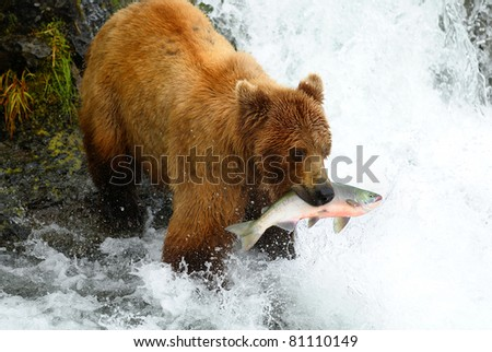 Alaska brown bear is catching a salmon at the waterfall.