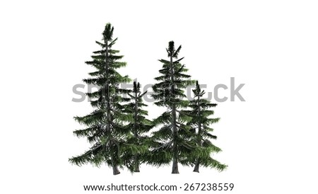 Alaska Cedar tree cluster - isolated on white background