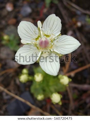 Alaska wildflower - stock photo