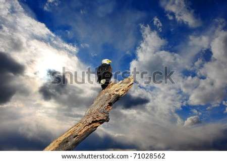 Alaskan Bald Eagle perched in a dead tree looking out over a cloudy turbulent sky - stock photo