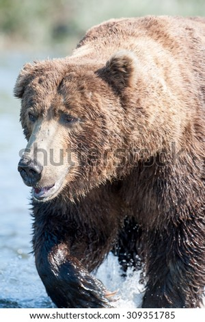 Alaskan brown bear as he's wading through a river in search of salmon