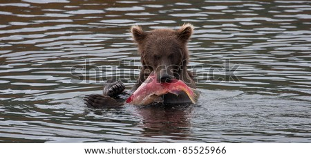 Alaskan Brown Bear at Brooks Lodge and Falls catching and eating Sockeye salmon - stock photo