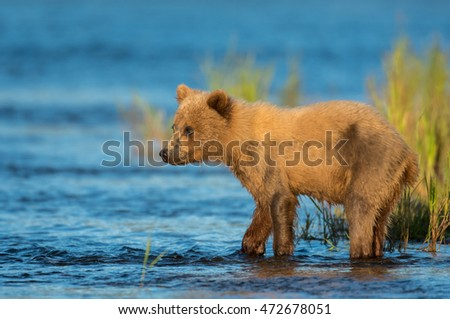 Alaskan brown bear cub in evening light along the Brooks River in Katmai National Park