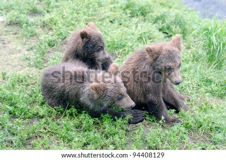 Alaskan brown bear cubs standing near the water at Brooks Falls in Katmai National Park - stock photo