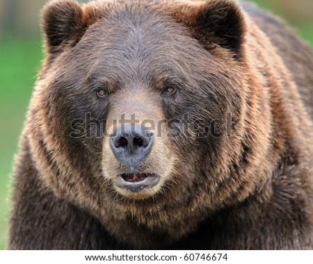 Alaskan brown bear (grizzly) - stock photo