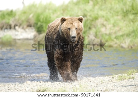Alaskan Brown Bear running to shore. - stock photo