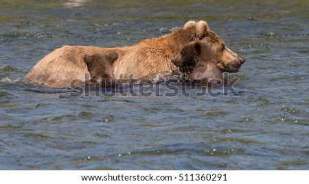 Alaskan brown bear sow and two cubs make their way down the Brooks River in Katmai National Park, Alaska