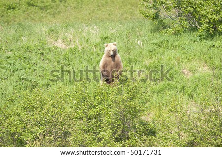 Alaskan brown bear stands up to get a better view. - stock photo