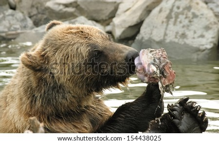 Alaskan Grizzly Bear eating a piece of fish - stock photo