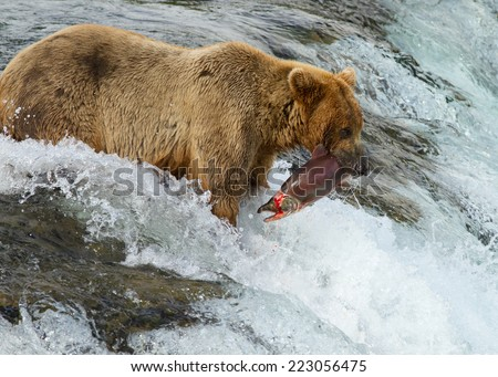 Alaskan Grizzly catching salmon