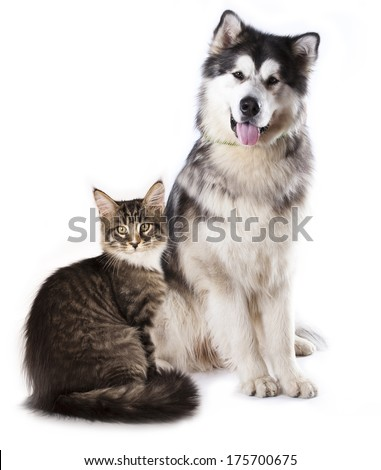 Alaskan Malamute  and cat breeds Maine Coon, Cat and dog - stock photo