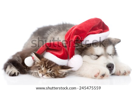 alaskan malamute dog and maine coon cat with red santa hats sleeping together. isolated on white background