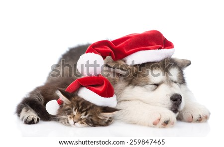 alaskan malamute dog and maine coon cat with red santa hats sleeping together. isolated on white background - stock photo