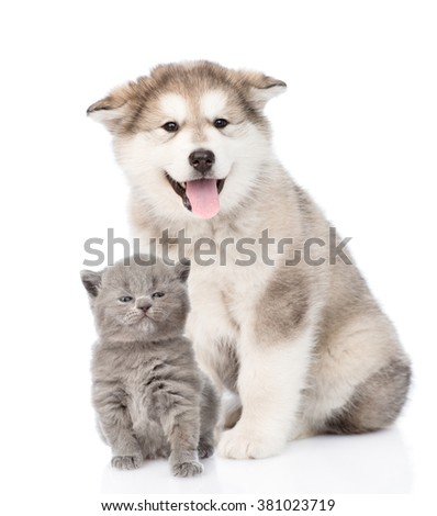 alaskan malamute dog and tiny kitten together. isolated on white background