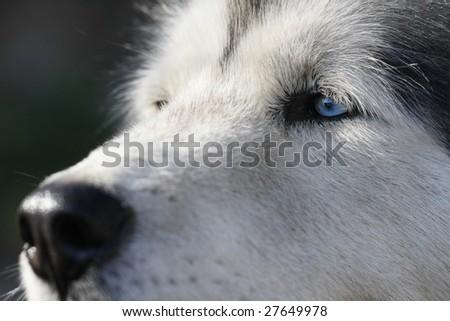 Alaskan Malamute dog close up - focus on the blue eye - stock photo