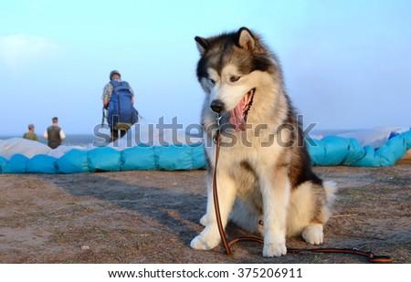 Alaskan malamute dog parachute - stock photo