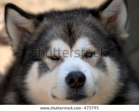 Alaskan Malamute dog portrait - stock photo