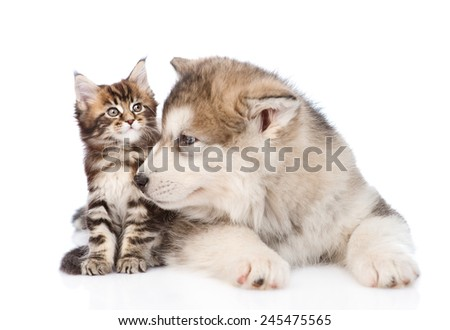 alaskan malamute dog sniffing small maine coon cat. isolated on white background - stock photo