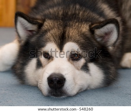 Alaskan malamute dog with face on carpet - stock photo