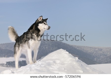 Alaskan Malamute in the snow - stock photo