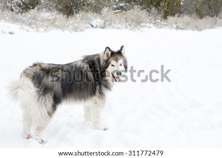 Alaskan malamute in the snow with booties on - stock photo