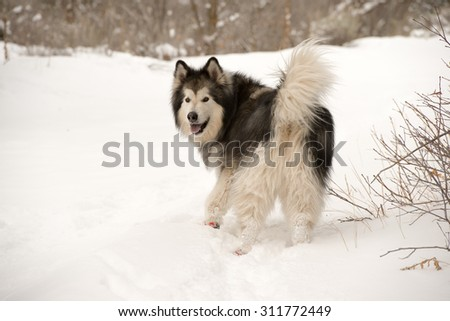 Alaskan malamute in the snow with booties on looks back at his owner - stock photo