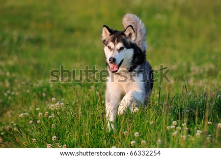 Alaskan Malamute on holiday in the spring