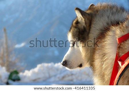 Alaskan malamute on snow