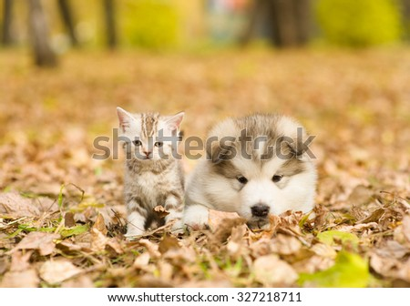 Alaskan malamute puppy and scottish kitten lying together in autumn park