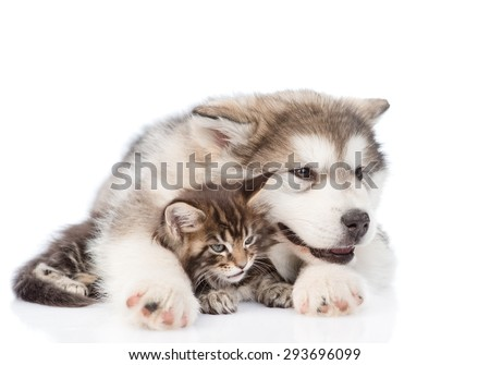 alaskan malamute puppy hugging maine coon kitten. isolated on white background
