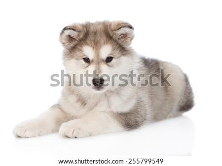 Alaskan malamute puppy lying. isolated on white background - stock photo