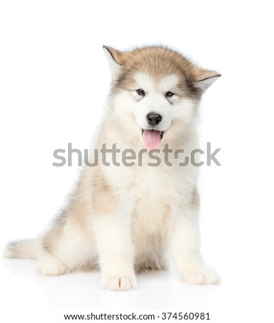 Alaskan malamute puppy sitting in front view. isolated on white background