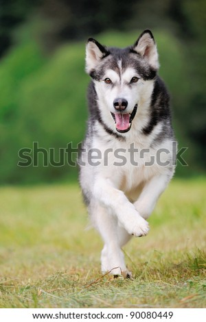 Alaskan Malamute runs - stock photo