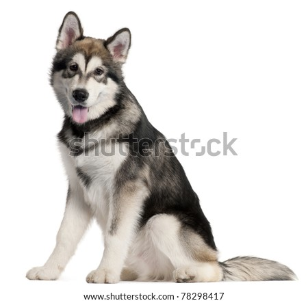 Alaskan Malmute puppy, 5 months old, sitting in front of white background - stock photo
