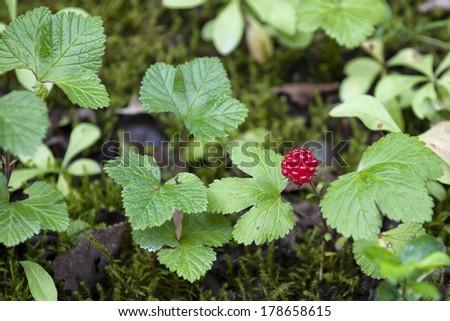 Alaskan Red Berry near Juneau - stock photo