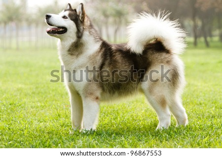 Alaskan sled dog on the grass - stock photo