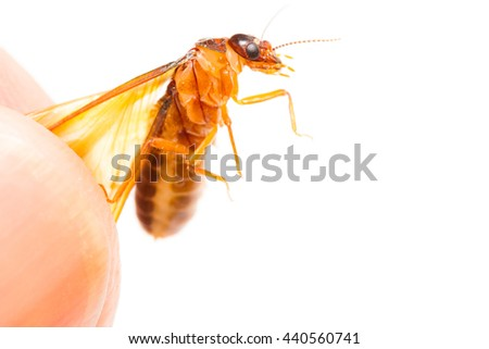 Alate or termite white ant on hand and white background - stock photo